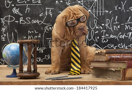 Cute puppy of French Mastiff breed with yellow necktie sitting in front of blackboard  - stock photo