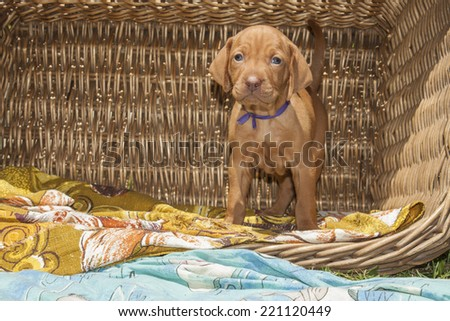 cute puppy of Hungarian hound in a wicker basket on garden Viszla - stock photo