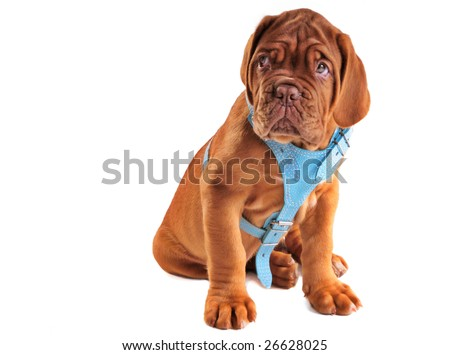 Cute Puppy of Mastiff with Begging facial expression - stock photo