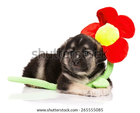 Cute puppy of 1,5 months old with toy flower on a white background - stock photo