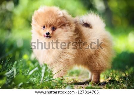Cute puppy of pomeranian spitz - stock photo