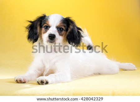 Cute puppy of the Continental Toy spaniel - Phalene - on a yellow background