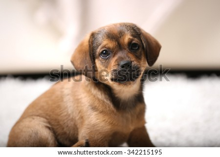 Cute puppy on carpet at home - stock photo