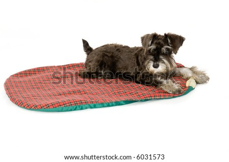 Cute puppy on its mat in a studio - stock photo