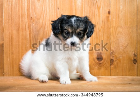 Cute Puppy Papillon on a wooden background - stock photo