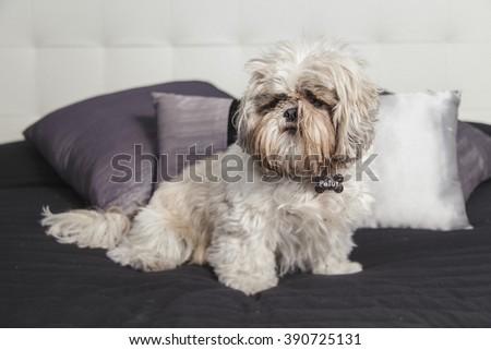 Cute puppy pet dog Shi Tzu on a purple pillow sofa - stock photo