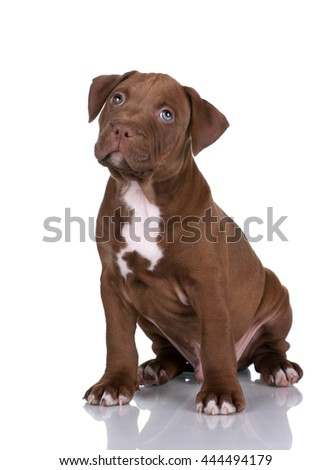Cute puppy pit bull terrier on a white background - stock photo