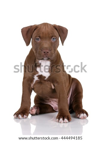 Cute puppy pit bull terrier on a white background