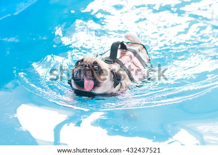 Cute puppy pug dog swim at a local public pool with life vest and tongue sticking out. - stock photo