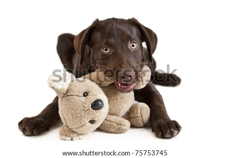 Cute puppy Puppy chewing on stuffed animal. picture on white background - stock photo