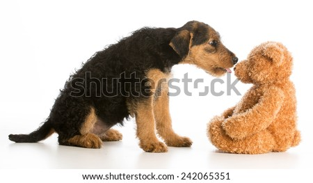 cute puppy reaching out to kiss stuffed teddy bear - airedale terrier - stock photo