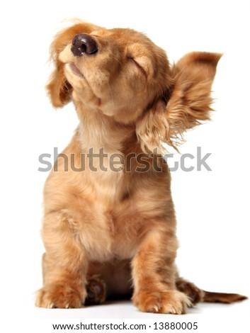 Cute puppy shaking its head, listening to music. Also available with headphones. - stock photo