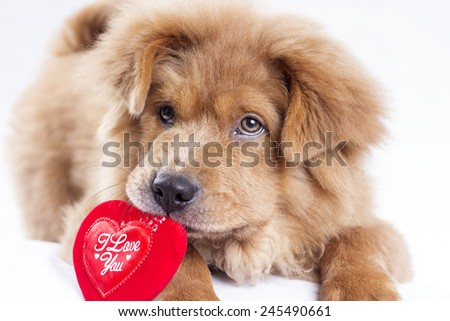 Cute puppy showing a heart shape red card for valentines day. - stock photo