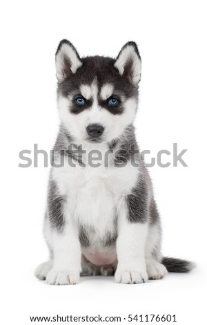 Must see Siberian Husky Blue Eye Adorable Dog - stock-photo-cute-puppy-siberian-husky-black-and-white-with-blue-eyes-on-white-background-in-studio-541176601  HD_293536  .jpg