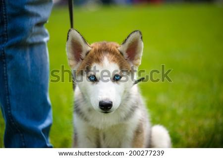 Cute puppy Siberian Husky dog - stock photo