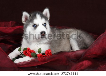 Cute Puppy Siberian husky lying on red fabric with flowers