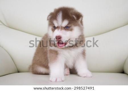 Cute puppy siberian husky on sofa - stock photo