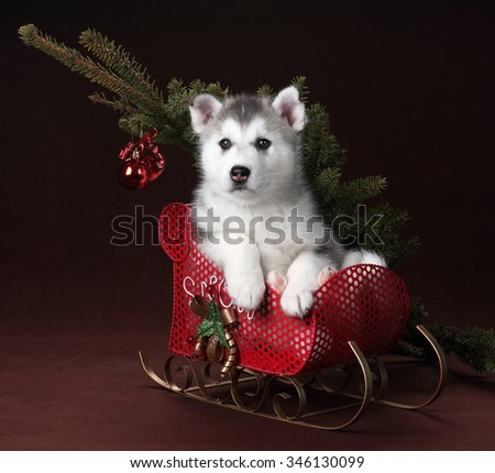 Cute Puppy Siberian Husky sitting in a red sleigh