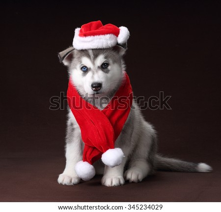 Cute Puppy Siberian Husky wearing a scarf and hat of Santa Claus - stock photo