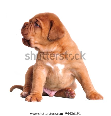 Cute puppy sitting isolated - stock photo
