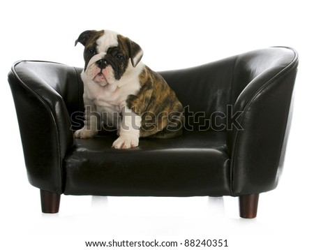cute puppy sitting on a couch - english bulldog - 8 weeks old