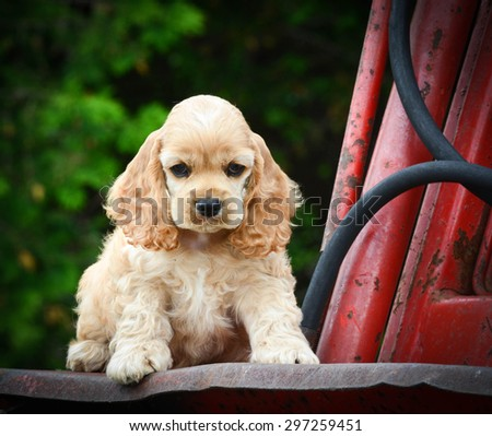 cute puppy sitting on rusty tractor - american cocker spaniel - stock photo