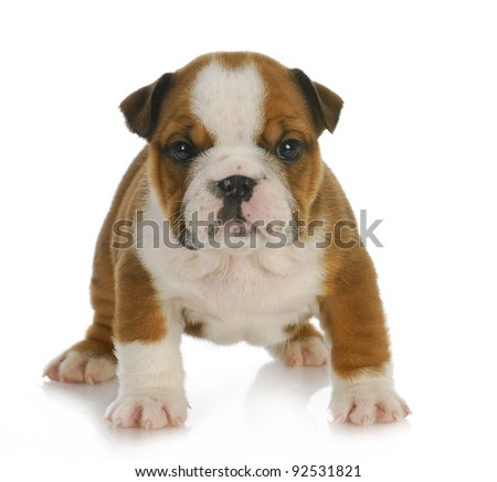 cute puppy - six week old english bulldog puppy looking at viewer - stock photo