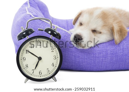Cute puppy sleeping next to an alarm clock against a white background - stock photo