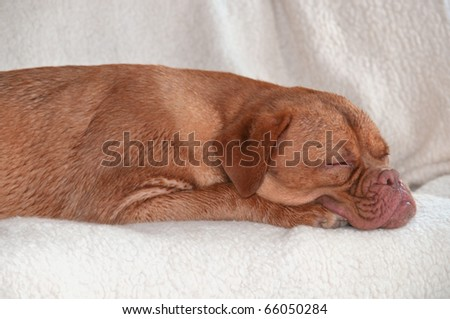 Cute Puppy Sleeping on Comfy Sofa - stock photo