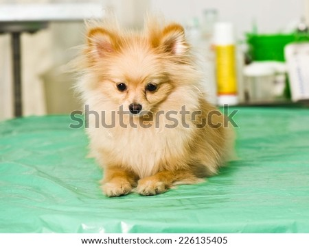 cute puppy(spitz) on operating table in veterinarian's clinic - stock photo