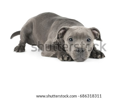 Cute puppy staffbull on a white background isolated