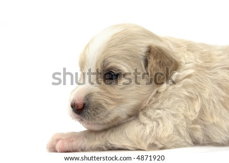 cute puppy studio isolated