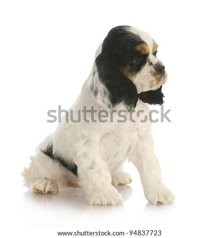 cute puppy - tri color american cocker spaniel puppy sitting on white background - stock photo