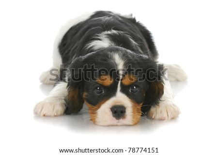 cute puppy - tri-color cavalier king charles puppy laying down on white background - six weeks old - stock photo