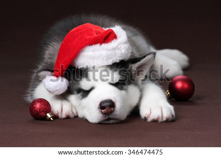 Cute puppy wearing a hat of Santa Claus sleeps