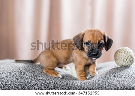 Cute puppy with a wool balls