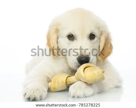 cute puppy with bone isolated on white studio shot looking at camera retriever