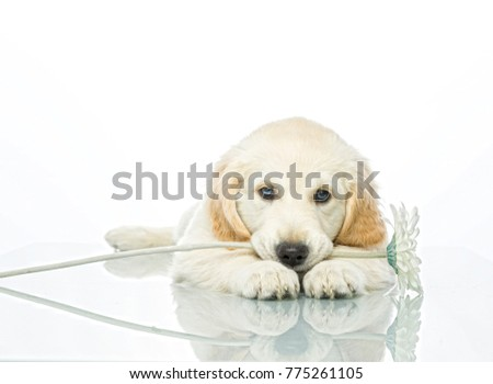 cute puppy with flower isolated on white studio shot looking at camera retriever
