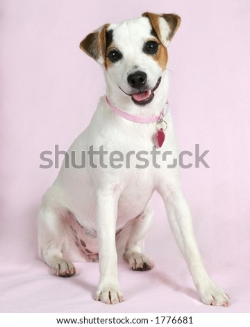 Cute puppy with pink background