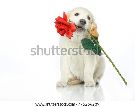 cute puppy with red rose flower in mouth isolated on white studio shot looking at camera retriever love valentines present