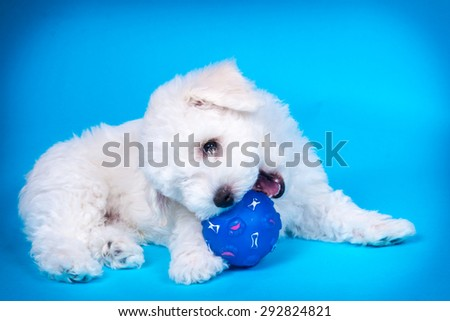 Cute puppy with toy on blue background