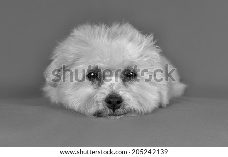 Cute pure breed bichon frise puppy poses in a gray background - stock photo