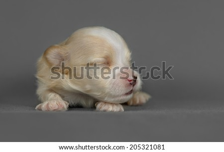 Cute pure breed bichon havanese puppy poses in a gray background