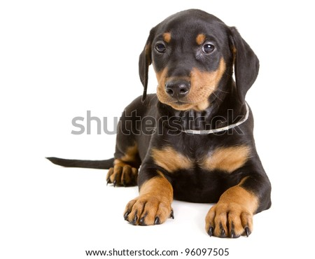 Cute purebred black-and-tan German Pinscher puppy, eight weeks old, looking straight at the camera.