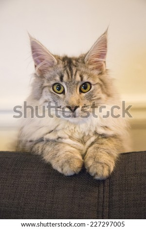 Cute purebred cat on the sofa