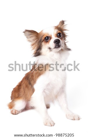 Cute purebred chihuahua in front of white background