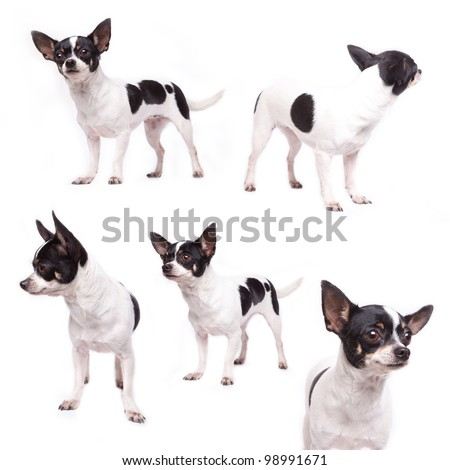 Cute purebred chihuahua in front of white background - stock photo