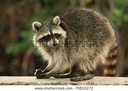 Cute raccoon nibbles a chocolate cookie - stock photo
