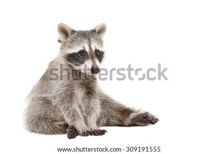 Cute raccoon sitting isolated on a white background - stock photo