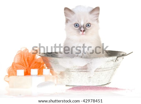 Cute Ragdoll kitten in bathtub with bubbles and soaps, on white background - stock photo